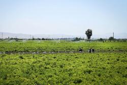 اصفهان جایگاه نخست بذر «مینی تیوبر»سیب زمینی در کشور  را دارد