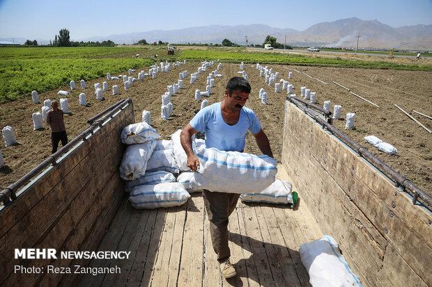 İran'da patates hasadı