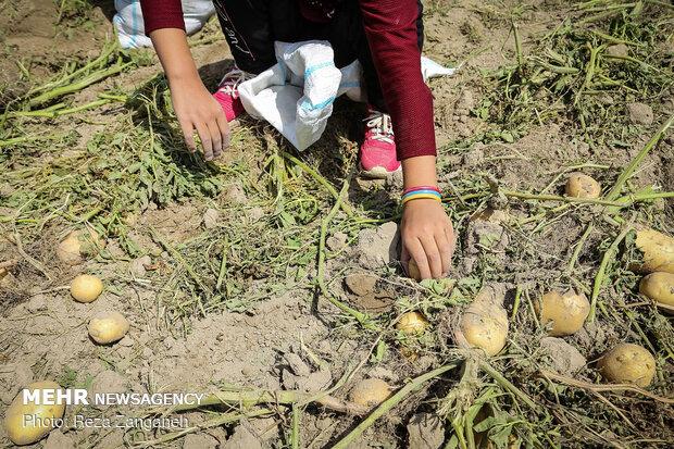 آغاز فصل برداشت سیب زمینی همدان