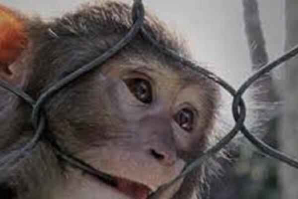 مشاهده ۳ قلاده میمون در منطقه ییلاقی آبینام سیاهکل