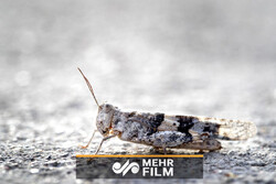 VIDEO: Las Vegas hit with a plague of grasshoppers