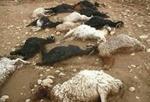 خودروی سواری در مرند ۲۱ گوسفند را تلف کرد