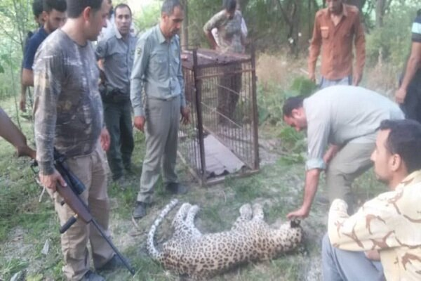 Persian leopard captured alive in NE Iran