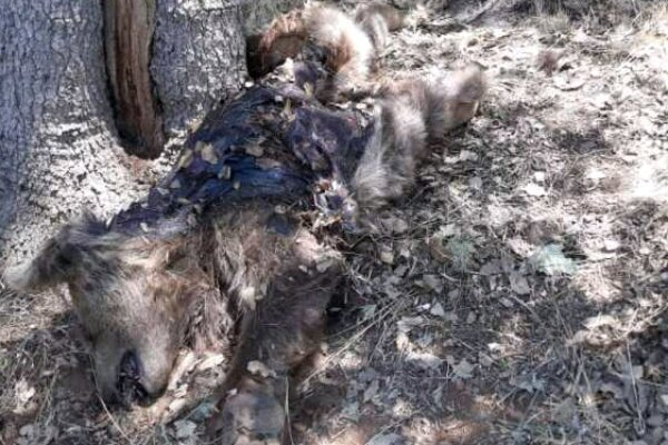 کشف لاشه خرس قهوه ای ۵ ساله در مناطق آزاد شهرستان بویراحمد
