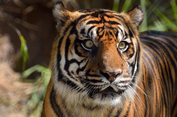 Can Iran get 2nd chance at extraordinary long-extinct Caspian tiger?