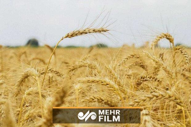 چرا دولت با وجود خودکفایی در تولید گندم دست از واردات آن نمیکشد؟