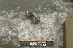 فیلمی از صید بیرحمانه ماهی در کنتاکی امریکا