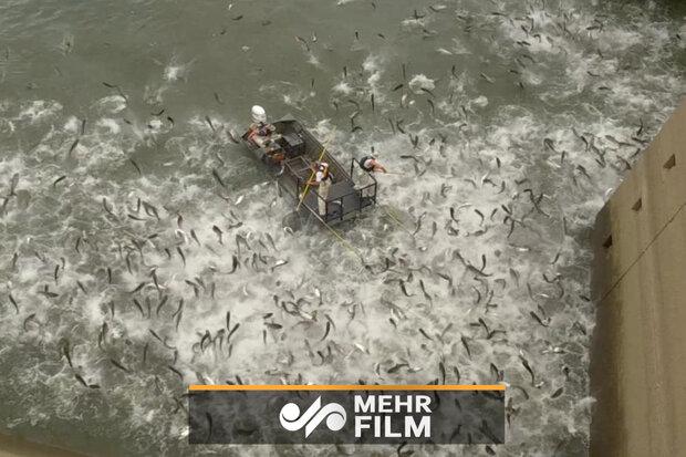 ڕاوی بێ ڕەحمانەی ماسی لە کێنتاکی ئەمریکا