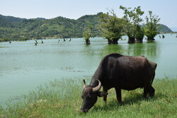 Estill Lagoon hosting buffalo flocks in sizzling summer