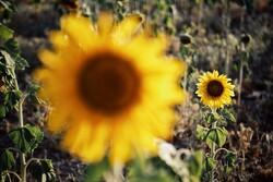 """مزارع دوار الشمس في مدينة """"همدان"""" / صور"""