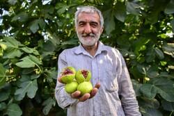 İran'ın kuzeyinde incir üretimi