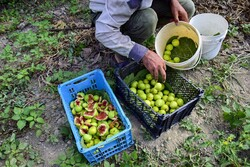 سالانه ۸۰۰ تن محصولات باغی در آبدانان تولید می شود