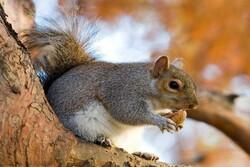 رهاسازی سنجابها در جنگلهای بلوط کرمانشاه