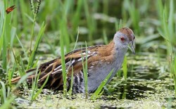 Rare Baillon's crake spotted in Gandoman wetland