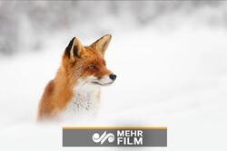 شکار فوقالعاده روباه از میان انبوه برف