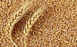 چهار رقم جدید گندم توسط موسسه تحقیقات کشاورزی دیم معرفی شد
