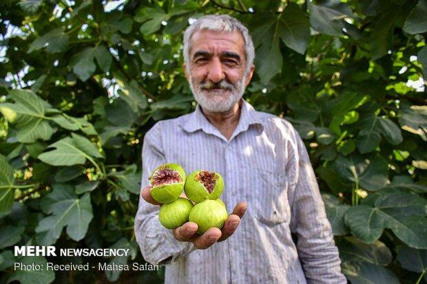 گرمسار و آرادان بیشترین سهم از تولید انجیر استان سمنان را دارند