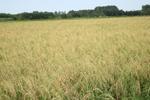 پایان برداشت برنج از شالیزارهای گیلان/ تولید ۱.۱ میلیون تن شلتوک