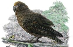 فسیل یک طوطی ۱۹ میلیون ساله با ارتفاع یک متر کشف شد