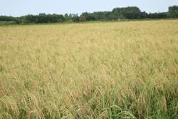 برداشت مکانیزه خوشه های برنج در مازندران آغاز شد