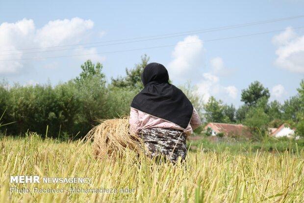برداشت برنج در روستاهای آستانه اشرفیه
