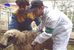 ذبح رایگان دام نذری در تاسوعا و عاشورا در کشتارگاههای کرمانشاه