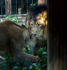 Persian lions at Tehran zoo introduced to live together