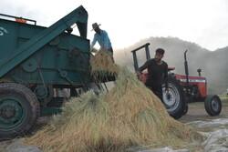 ۱۸۵۰۰ تن برنج از شالیزارهای شوشتر برداشت شد