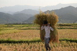 پایان برداشت برنج در گیلان/۱.۱ میلیون تن شلتوک برداشت شد