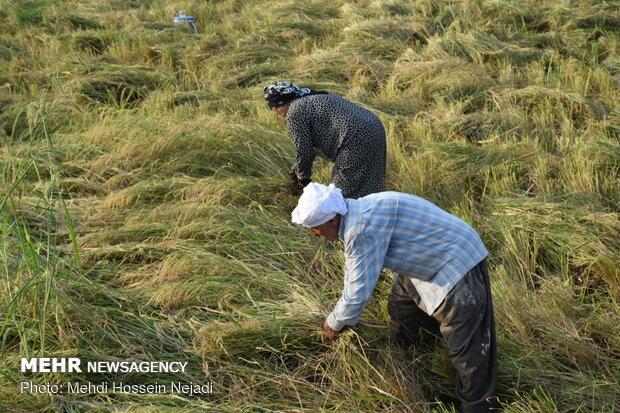 Rice harvest in Astara, N Iran