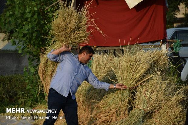 برداشت برنج از مزارع شهرستان مرزی آستارا