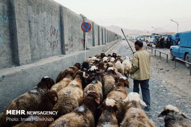 بازار فروش دام در آستانه عید قربان