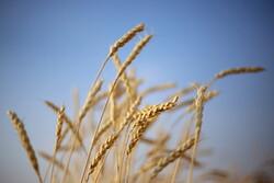 تولید محصولات زراعی ۶۴ میلیون تن برآورد شد