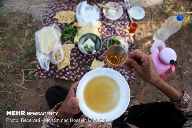 Traditional wheat harvesting in Kerman