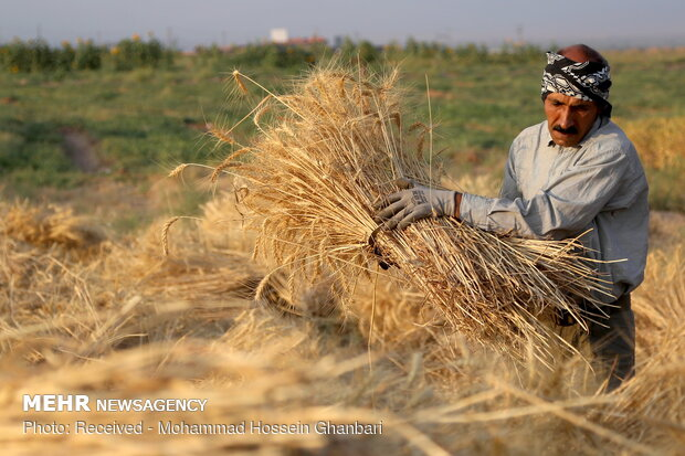 حصاد القمح بالطريقة التقليدية