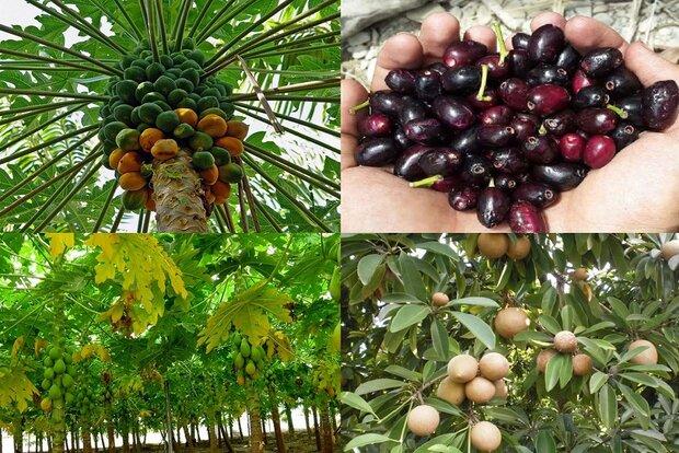 المحاصيل الزراعية في سيستان وبلوشستان بديل للنفط الخام