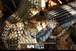فیلمی عجیب از ماری که خودش را می خورد!