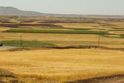 گندم در ۳۱۰ هزار هکتار از اراضی کشاورزی زنجان کشت می شود