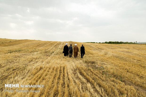 ۸۵ هزار هکتار از اراضی کشاورزیقزوین به زیر کشت گندم رفت