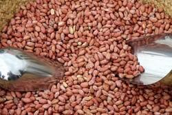 آستانه اشرفیه قطب تولید بادام زمینی کشور است