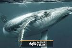 فیلمی از بیرون آوردن لاشه نهنگ ۷۵تنی از آب