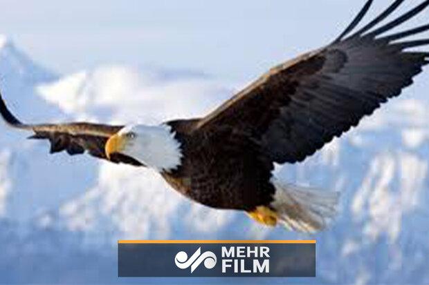 عقاب نے ایک بڑی مچھلی کو شکار کیا