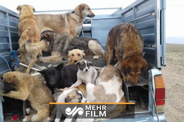 توضیحات مشاور محیط زیست شهرداری در مورد کشتار سگها
