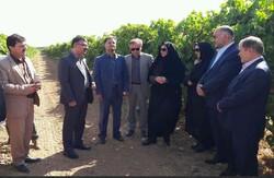 ۵ هزار هکتار از باغات انگور استان قزوین داربستی شد
