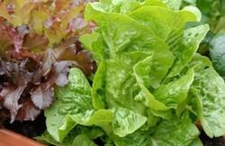 رشد سبزیجات برگی در کارخانه عمودی با مصرف یکدرصدی آب