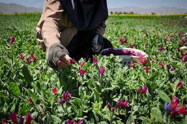 ۱۴۵۰ تن گیاه دارویی از کشور صادر شد