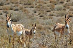 گورخرهای پارک ملی توران شاهرود
