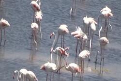 تعداد فلامینگوها بر فراز دریاچه ارومیه از مرز ۵۰ هزار قطعه گذشت