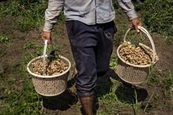 خام فروشی بلای جان کشاورزان/ تولید کمنظیر بادامزمینی در پارسآباد