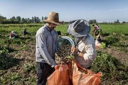 İran'da yer fıstığı hasadı başladı